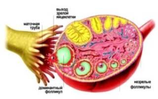Наличие фолликулов в яичниках при климаксе
